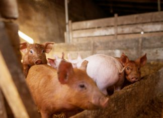 North America Swine Feed Market